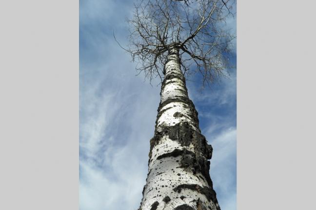 Aspen Tree, Alberta, Canada