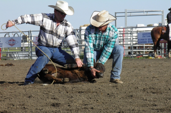 Calf Roping, Bonnyville Rodeo, Bonnyville, Alberta, Canada