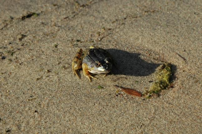 Frog, Rideau River, Ontario, Canada