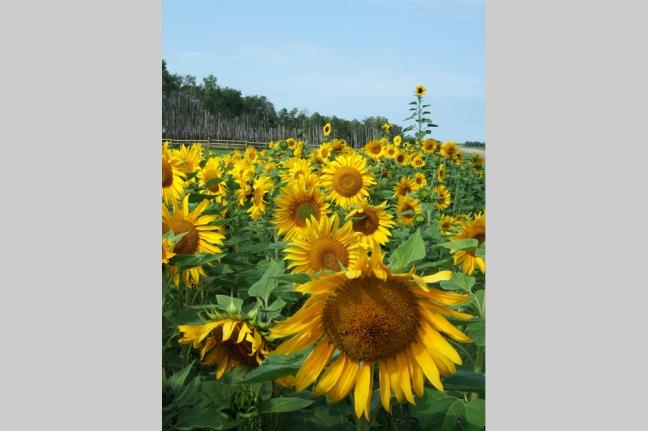 Sunflowers, Hwy 55, Alberta, Canada