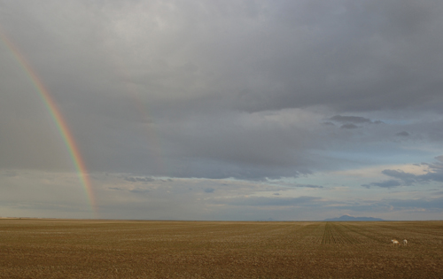 A double rainbow forms over a field while antelope graze with the Sweetgrass Hills behind.